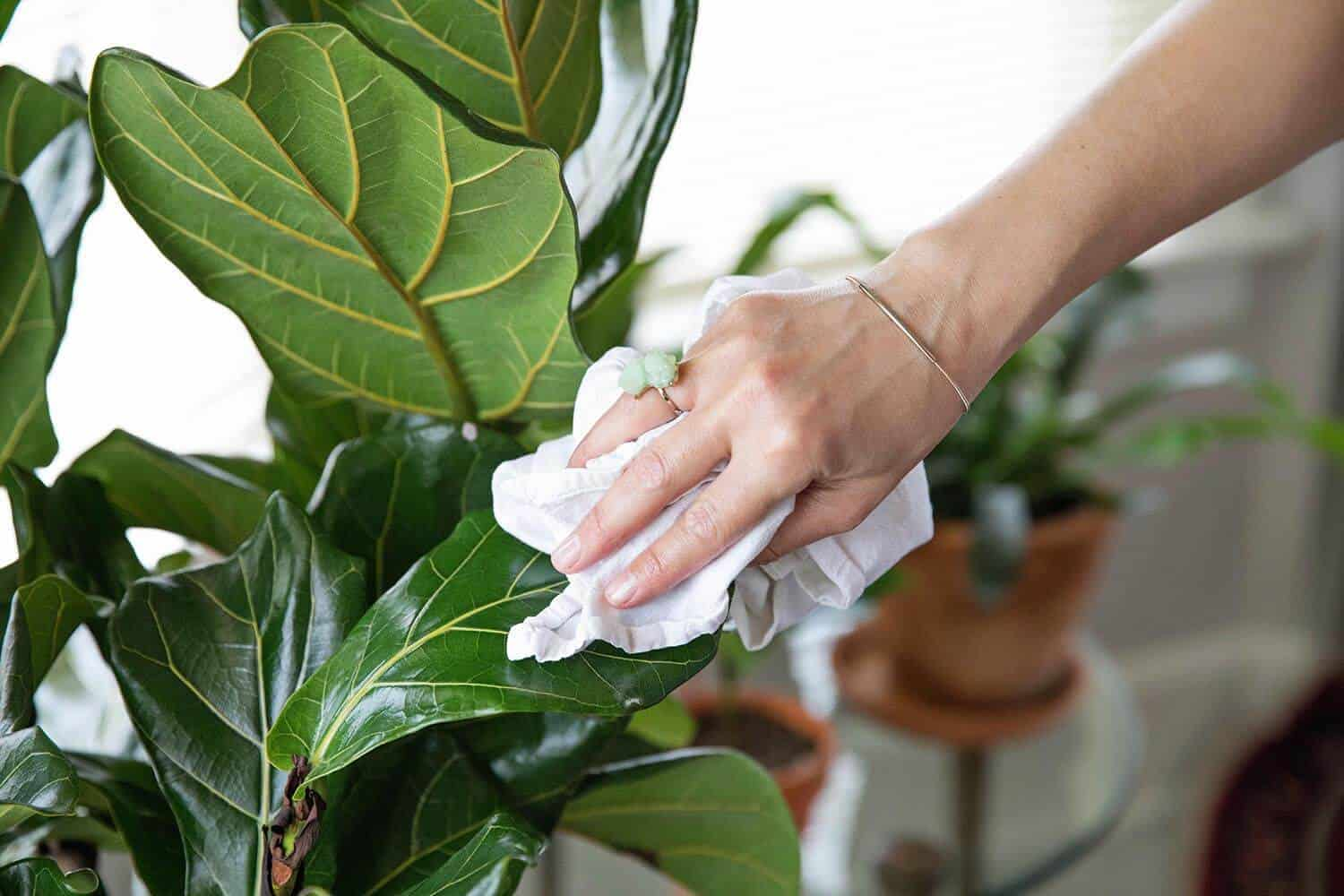 5 Tips For Caring For Fiddle Leaf Figs A Beautiful Mess