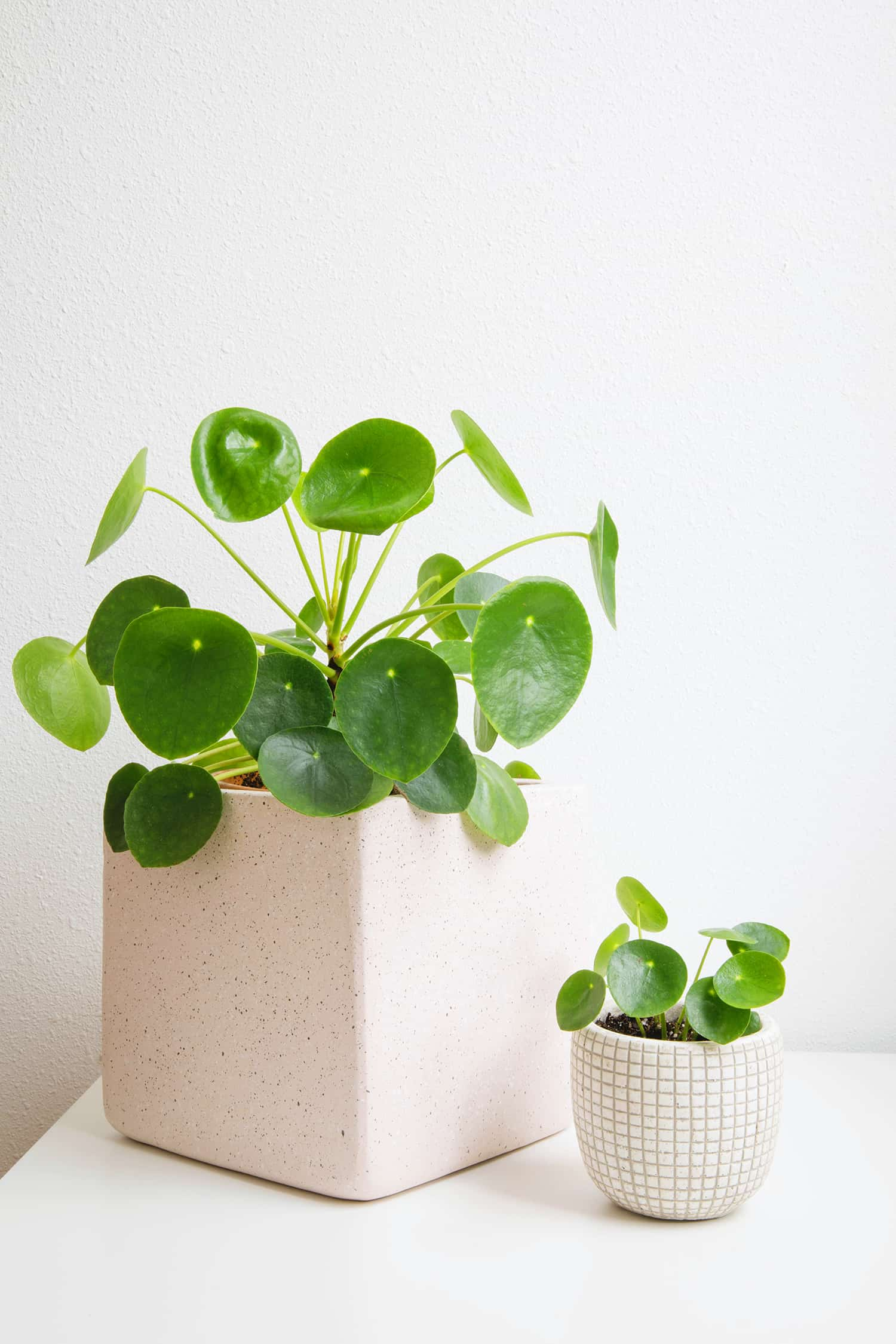 Caring For Pilea Plants A Beautiful Mess