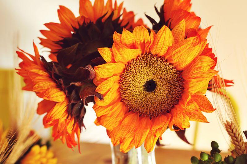 Amazing Orange Sunflowers